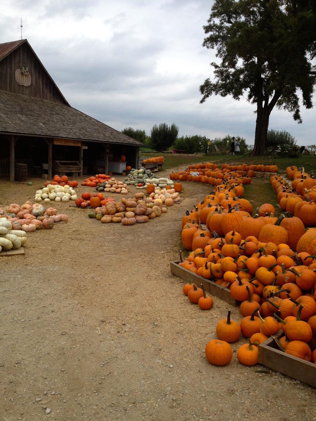 Weston Red Barn Farm, Pumpkin Patch, pumpkins, autumn ...
